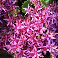 Sedum spurium 'Summer Glory' - Dragons Blood Stonecrop