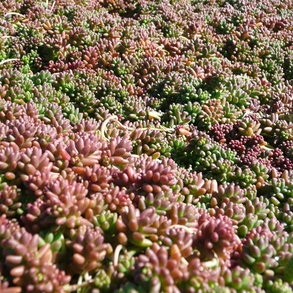 Sedum Album Sedum Album Coral Carpet