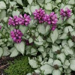 LAMIUM maculatum Purple Dragon