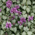 LAMIUM maculatum Red Nancy