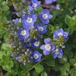 VERONICA liwanensis Turkish