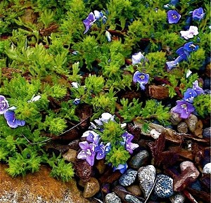 VERONICA pectinata 'Blue'